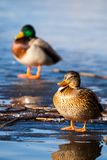 Wild Mallard Ducks Sitting In Lake Ice. Stock Image