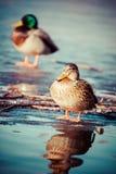 Wild Mallard ducks sitting in lake ice. Wild Mallard ducks sitting in lake ice Stock Photo