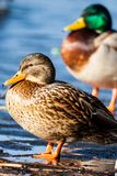 Wild Mallard ducks sitting in lake ice. Stock Photos