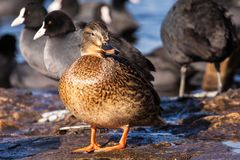 Wild Mallard ducks sitting in lake ice. Stock Images