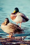 Wild Mallard ducks sitting in lake ice. Royalty Free Stock Photo
