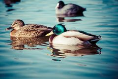 Wild Mallard ducks sitting in lake ice. Royalty Free Stock Photography