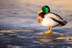 Wild Mallard ducks sitting in lake ice. Royalty Free Stock Photos