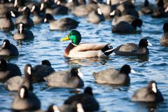 Wild  Mallard ducks swim in the lake. conceptual image one Stock Photo