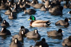Wild  Mallard ducks swim in the lake. conceptual image one Stock Image