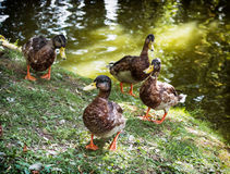 Wild mallard ducks are walking by the green lake Stock Photos