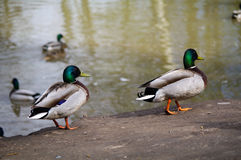 Wild mallard Ducks walks on the shore of pond and swimming inside lake water. Royalty Free Stock Image