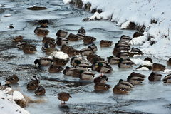 Wild mallards. Ducks on last nonfrozen water surface Stock Photos