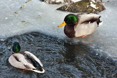 Wild mallards. Male ducks on last nonfrozen water surface Royalty Free Stock Photo