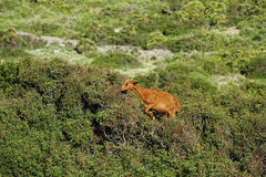 The wild Mallorcan goat Stock Photography