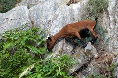 The wild Mallorcan goat in  Sa Calobra bay in Majorca. Spain Stock Image