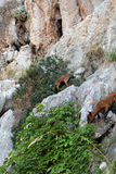 The wild Mallorcan goat in  Sa Calobra bay in Majorca Royalty Free Stock Photography