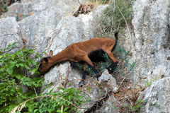 The wild Mallorcan goat in  Sa Calobra bay in Majorca Royalty Free Stock Images