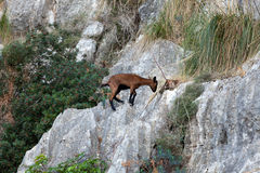 The wild Mallorcan goat in  Sa Calobra bay in Majorca Royalty Free Stock Photos