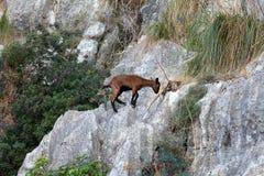 The wild Mallorcan goat in  Sa Calobra bay in Majorca Royalty Free Stock Photos