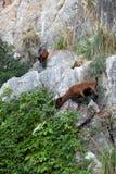 The wild Mallorcan goat. In  Sa Calobra bay in Majorca Spain Stock Photos