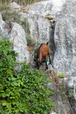 The wild Mallorcan goat in  Sa Calobra bay in Majorca Stock Photography