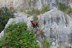 The wild Mallorcan goat. In  Sa Calobra bay in Majorca Spain Royalty Free Stock Photo