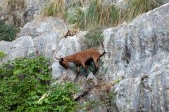 The wild Mallorcan goat in  Sa Calobra bay in Majorca Stock Photo
