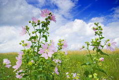 Wild mallow. A beautiful lavatera flowers / growing wild mallow Stock Photography