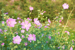 Wild mallow. Wild flowering mallow on uncultivated valley Stock Photo