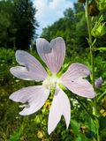 Wild mallow flowers growing on a meadow Royalty Free Stock Photo
