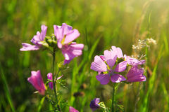 Wild mallow flowers isolated. Beautiful pink flowers of mallow on blurred natural green background Stock Image