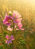 Wild mallow flowers on a sunset background. Field grass close-up with sunbeams. Blurred summer background, selective focus Royalty Free Stock Photo