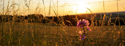 Wild mallow flowers on a sunset background. Royalty Free Stock Photography