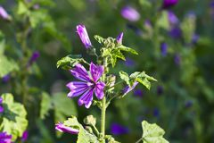 Wild mallow, Malva silvestris, Bavaria, Germany, Europe. The wild mallow is one of the oldest known useful plants. It was already cultivated as a vegetable and Stock Photos