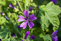 Wild mallow, Malva silvestris, Bavaria, Germany, Europe. The wild mallow is one of the oldest known useful plants. It was already cultivated as a vegetable and Stock Photography