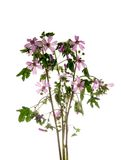 Wild mallow Royalty Free Stock Photography