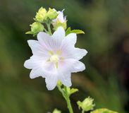 Wild malva flower Royalty Free Stock Photography