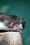 Wild Mandrill Stock Photos
