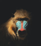 Wild Mandrill Isolated in the Darkness Royalty Free Stock Image