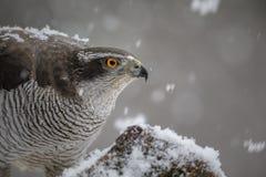 Wild mannelijk goshawk close-up stock foto