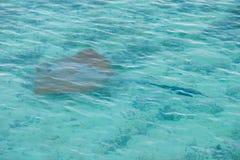 Wild manta ray stock image