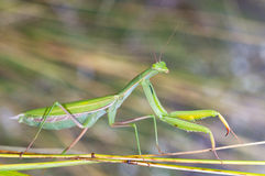 Wild mantis Stock Images