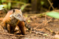 Wild Mapache Animal. Procyon Cancrivorus Brown Species Of Raccoon Shot In The Wild Ecuadorian Rainforest Royalty Free Stock Photo