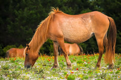 Wild Mare Royalty Free Stock Photography