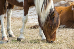 Wild mare browsing grass on Assateague Island, Maryland. Stock Image
