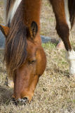 Wild mare browsing grass on Assateague Island, Maryland. Royalty Free Stock Photography