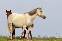 Wild mare with foal on the Black Sea coast. In the Danube Delta stock images