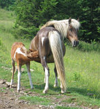 Wild mare with foal nursing. Wild mare and foal in Grayson Highlands State Park, Virginia Royalty Free Stock Photography