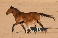 Wild mare and foal running. Horse herd in the Namib Desert; descendants from horses escaped from SA Cavalry during 1st World War; long limbs; barrel-shaped body Royalty Free Stock Image