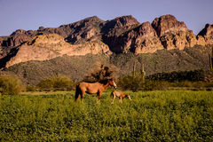 Wild mare and her colt standing in tall grass Stock Photography