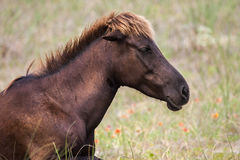 Wild Mare. A wild mare resting in the grass Stock Image