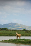 A wild mare and it& x27;s foal at a lagoon Stock Image