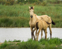 A wild mare and it& x27;s foal at a lagoon Stock Photo