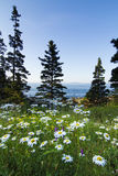 Wild Marguerites in Acadia National Park Royalty Free Stock Photo